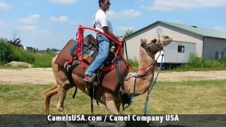 Call 815-600-6464-Animal Rental,Animal Rentals,Chicago Camel Guy 1,Camel Rental,Camel Rides,Chicago