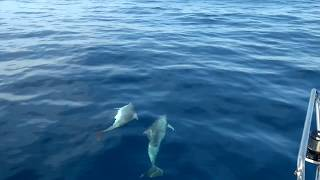 Dolphins  on a Sailing Trip  between Menorca   Mallorca  - 2016