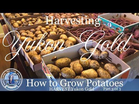 How to Grow Potatoes : HARVEST Yukon Gold Potatoes