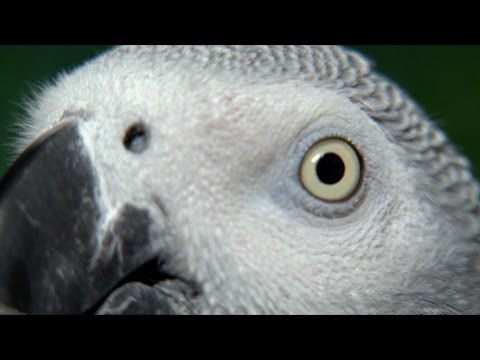 African Grey Parrot: Species in Decline (Portuguese)