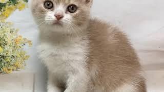 Британский котенок, возраст 2 месяца, окрас Кремовый биколор.