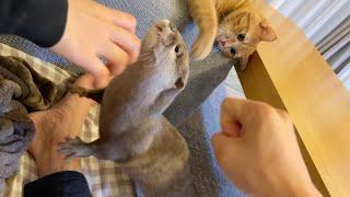 ワニワニパニックになったカワウソが猫に叩かれてしまう…