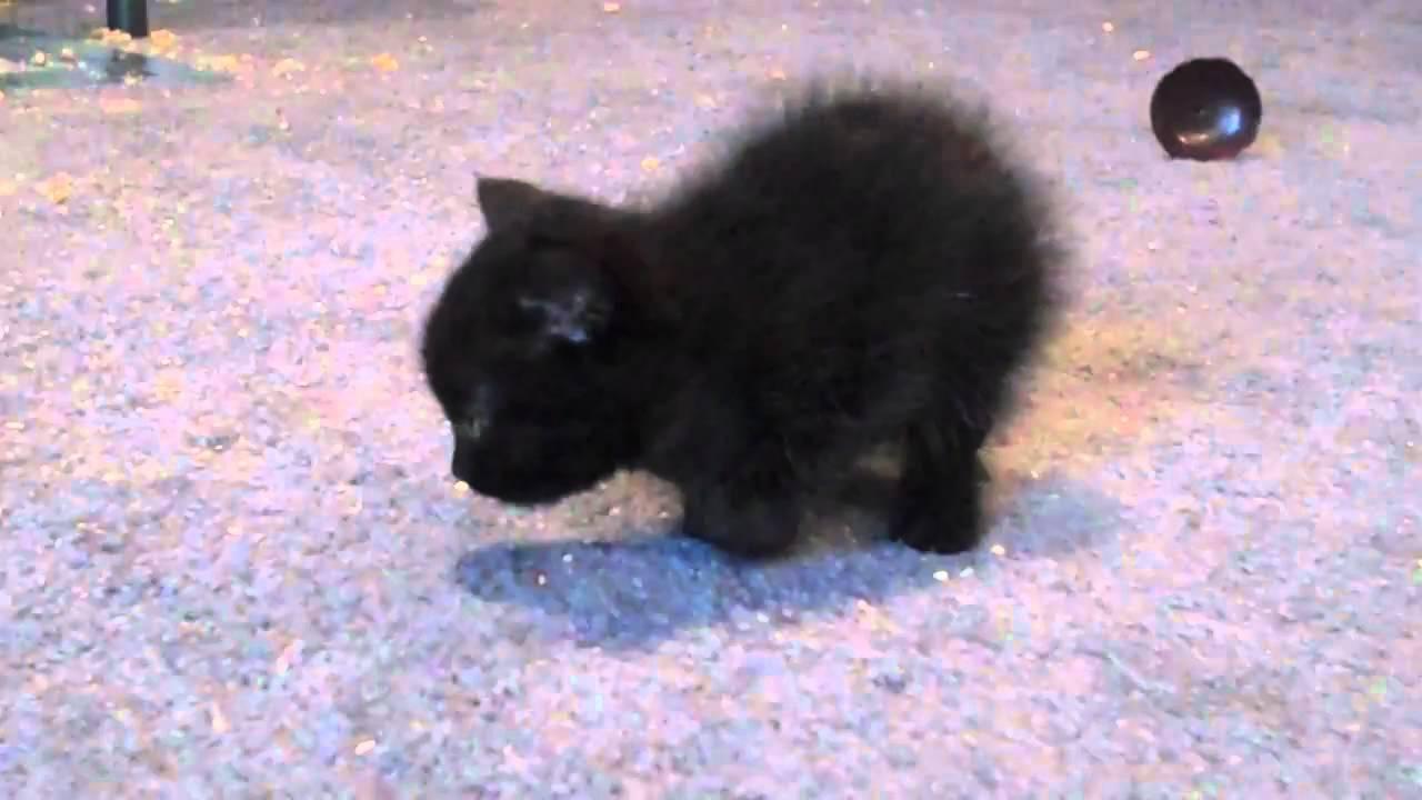 Baby Black Kitten Carpet