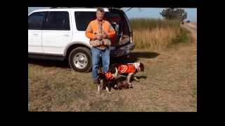 15-wk Old Springer Spaniel Puppy Pheasant Hunting No. California: Jenny Mae Blonskij