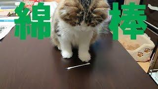 【ルナ#19】子猫は綿棒で遊ぶのか【サイベリアン】 thumbnail
