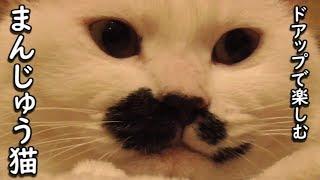 只、饅頭猫フク姫の顔を超アップにして撮影しただけの動画