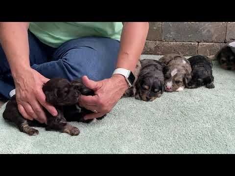 Buffy's schnoodle puppies  They are sold July 20, 2020