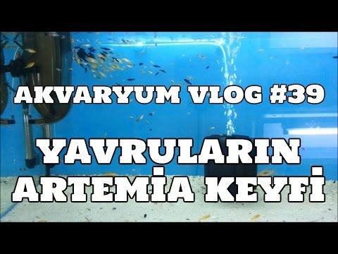 Hobihanem - Akvaryum Vlog #39 (Yavruların Artemia Keyfi) [19.03.2017]