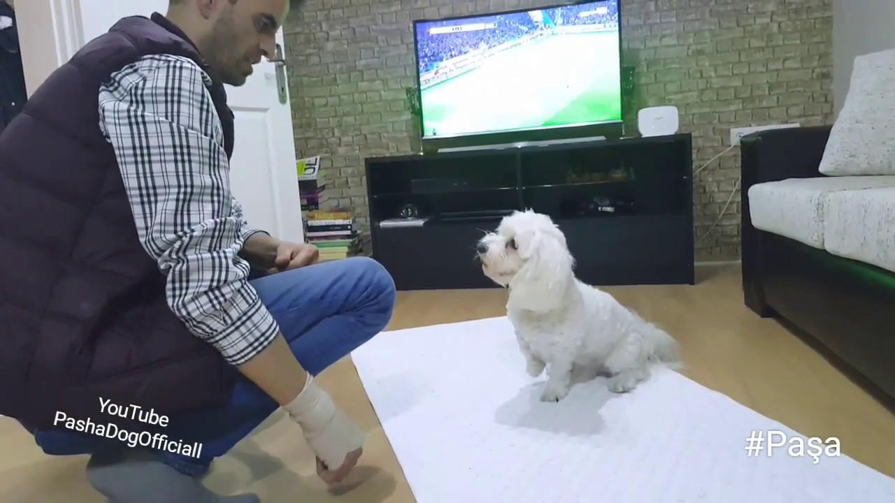 Elif Hanım'ın Maltese Terrier cinsi Latte ile temel itaat eğitimi çalışmaları