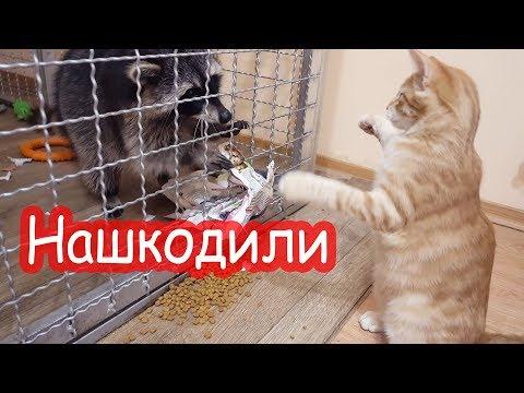 Кот и енот