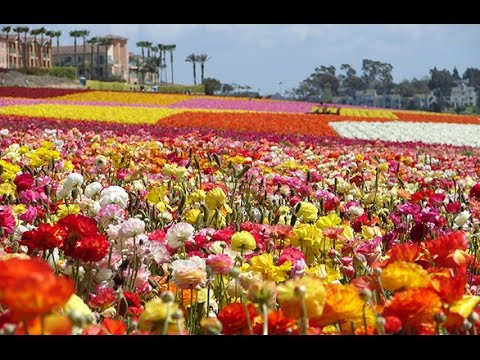 Walking The Flower Fields at Carlsbad Ranch in 4K