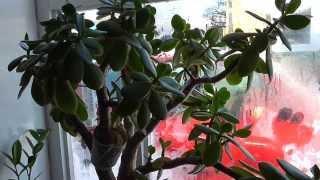 Уход за денежным деревом в зимний период  Часть 3.(Денежное дерево отлично переносит прохладный воздух и не частый полив в зимний период. Комнатное растение..., 2014-01-24T08:16:16.000Z)