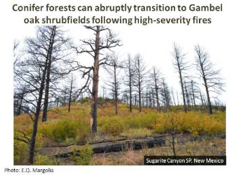 Persistence and fire regimes of oak shrubfields suggest increasing dominance with climate change