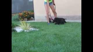Miniature Schnauzer Puppies Victorious Star Kennel