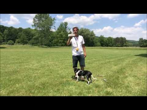 Training Loyal Puppy for Dummy Launcher retrieves : German Shorthaired Pointer