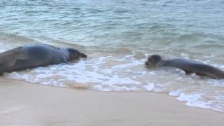 Endangered Hawaiian Monk Seals and a Green Sea Turtle basking and playing on Poipu Beach!