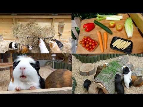 My Guinea Pigs' Diet | Summer 2015