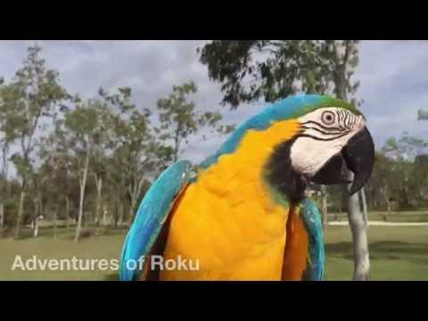 Parrot chased by a crow