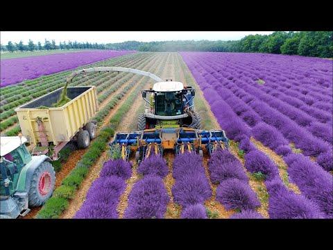 How To Harvest Lavandula ? - Lavandula Farming & Harvesting Technique - LAVENDER OIL EXTRACTION