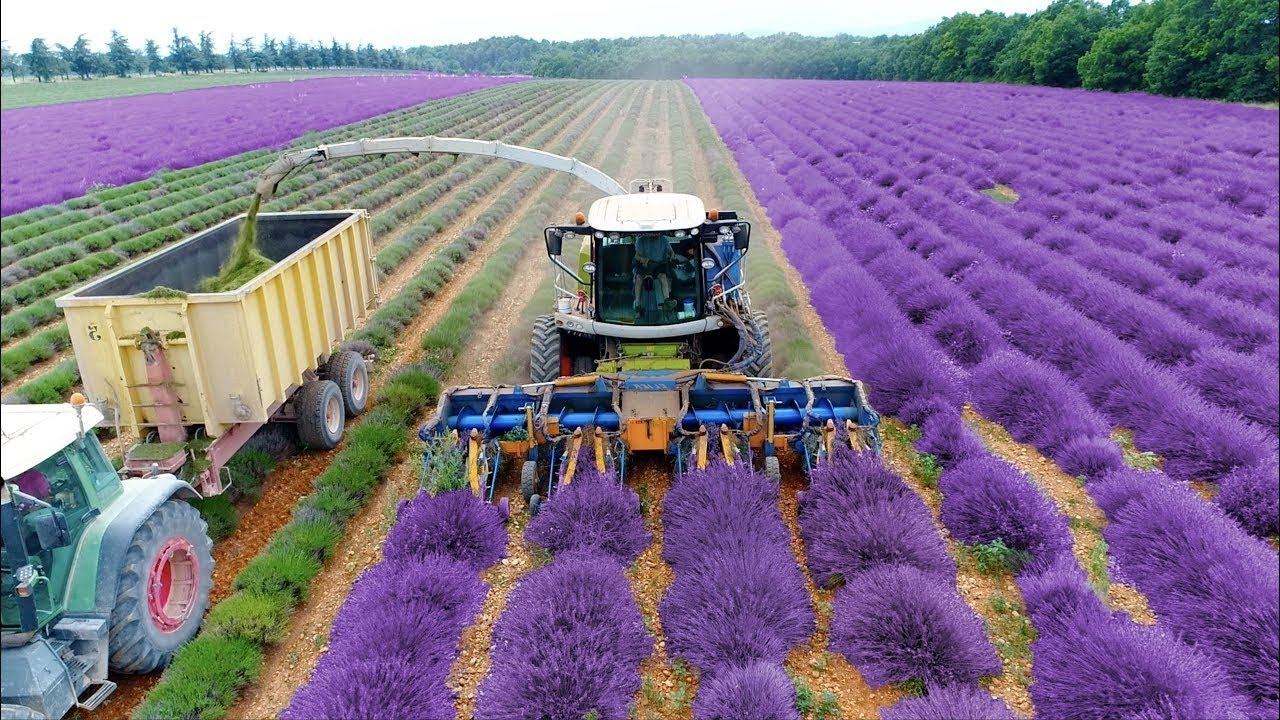 How To Harvest Lavandula Lavandula Farming Harvesting Technique Lavender Oil Extraction Youtube