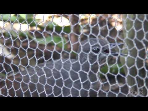 Superb Lyrebird imitating construction work - Adelaide Zoo
