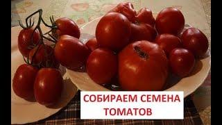 ПРАВИЛЬНО СОБИРАЕМ СЕМЕНА ТОМАТОВ (08.09.2017)