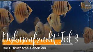 Die Diskusfische ziehen ein - Unsere Diskus-Aufzuchtstation entsteht #3