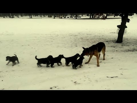 Daddy German Shepherd Plays With His Kids! SO CUTE!!