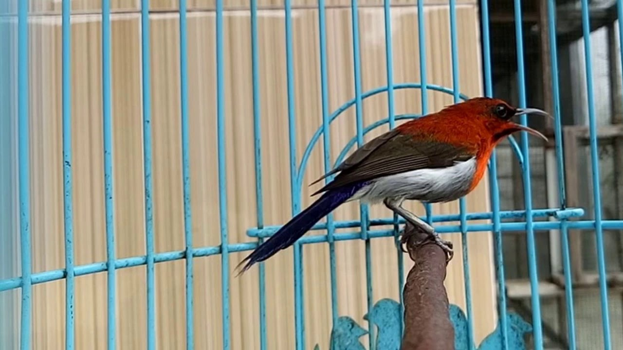 Cukup 3 Menit Burung Kolibri Sepah Raja Bakal Buka Paruh Dan Gacor Youtube