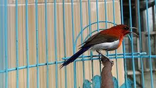 Download Lagu Cukup 3 menit!!! Burung Kolibri Sepah Raja bakal buka paruh dan gacor mp3