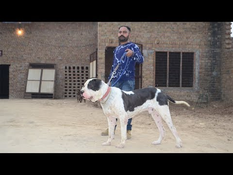 Bully Dog Warrior's Son Darvesh Kennel Malout Punjab