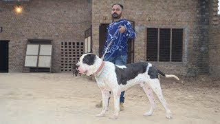 Pakistani Bully Warrior's Son Darvesh Kennel Malout Punjab