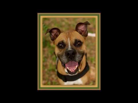 Florida Boxer Rescue - ADOPTIONS - Rescue Me!