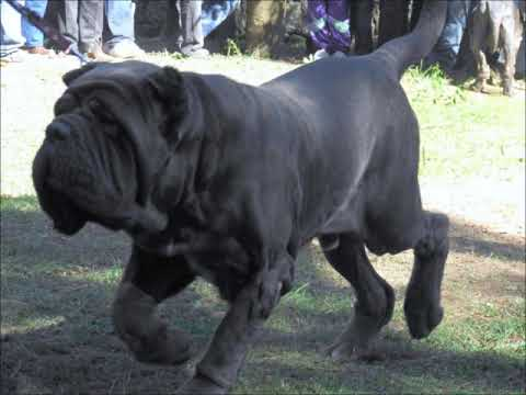 Neapolitan Mastiff History And Tribute
