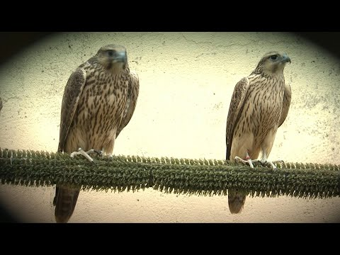 Spanish Falcons Feed Arab Passion For Raptor Hunting | AFP