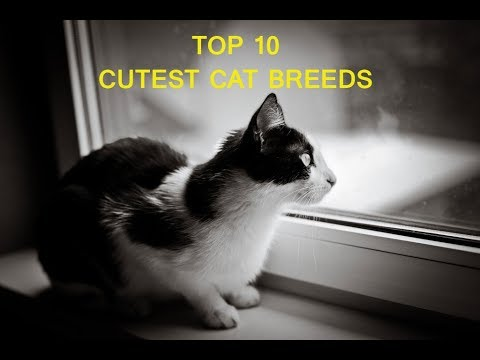 Top 10 Cutest Cat Breeds | Idea What |