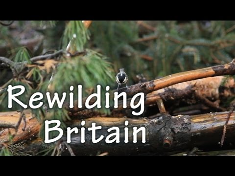 Rewilding Britain: A focus on the reintroduction of mammals