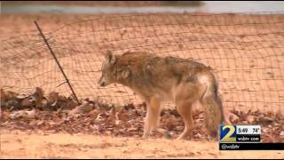Coyote Challenge  asks people to kill coyotes for hunting licenses