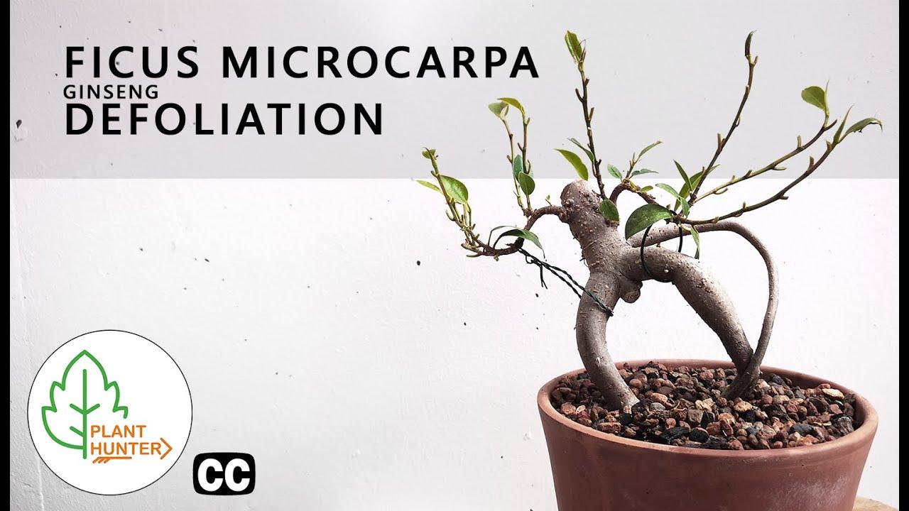 Ficus Microcarpa Ginseng Defoliation Plant Hunter Tv