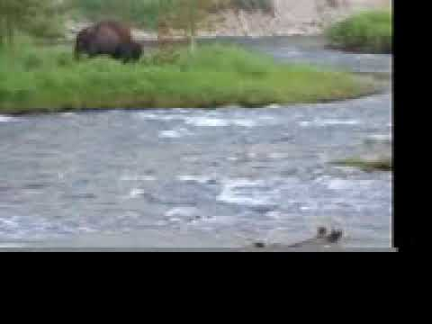 Fly Fishing with the Bison (Indian Creek Campground, West Yellowstone)