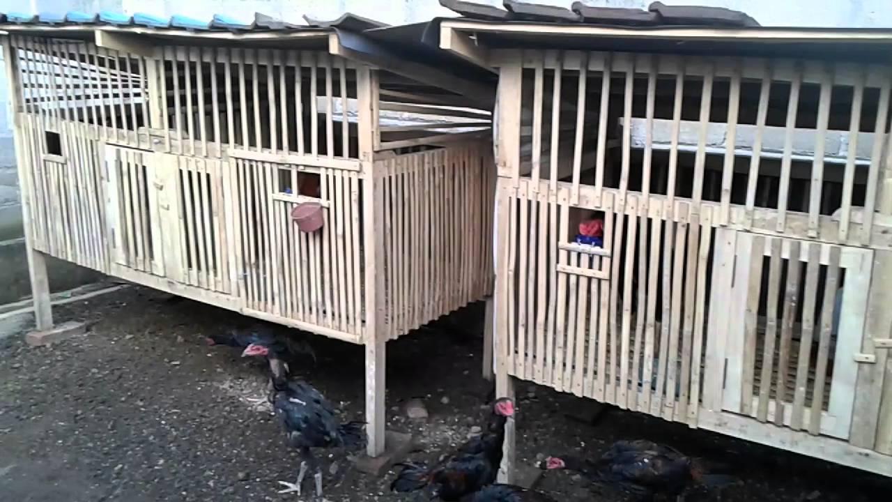 Mewarnai Sketsa Gambar Ayam Bangkok Terbaru - KataUcap
