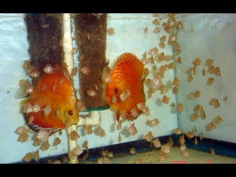 How to Breed Discus Fish in Hindi