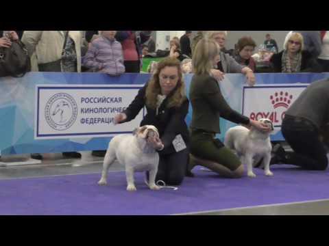 English Bulldog. ЕВРАЗИЯ 2017г. (день3).