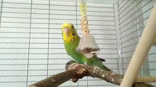 Волнистый попугай и колокольчик
