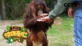 [正大综艺·动物来啦]红毛猩猩的毛发有什么作用| CCTV