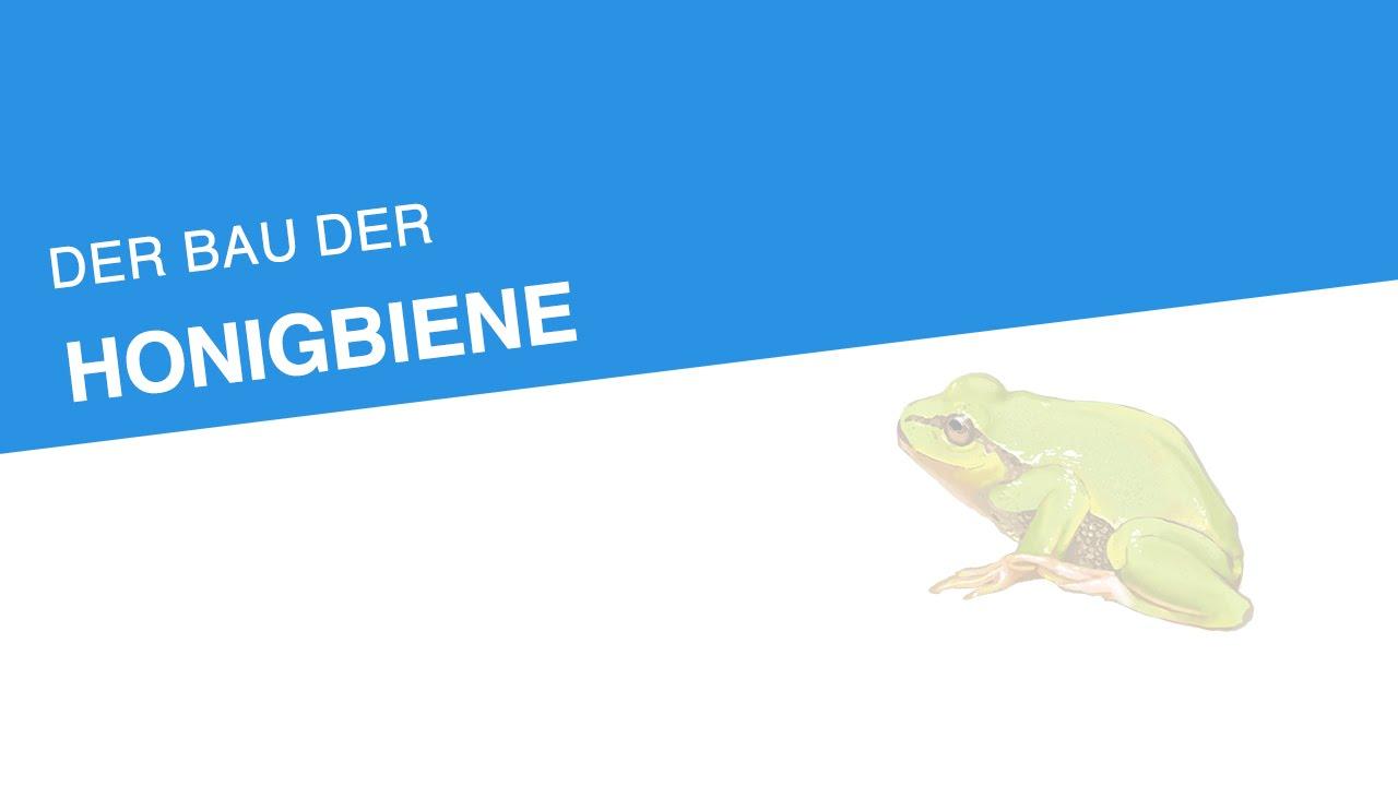 DER BAU DER HONIGBIENE | Biologie | Biologie der Tiere (Mittelstufe ...