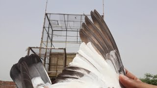 How to train pigeons to fly around the loft