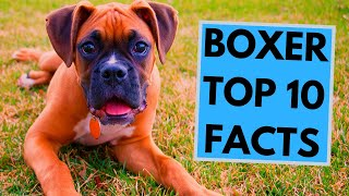 Boxer Dog Breed  TOP 10 Interesting Facts