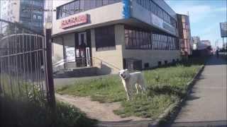 Собака без сопровождения хозяйки бродит по улицам Ставрополя
