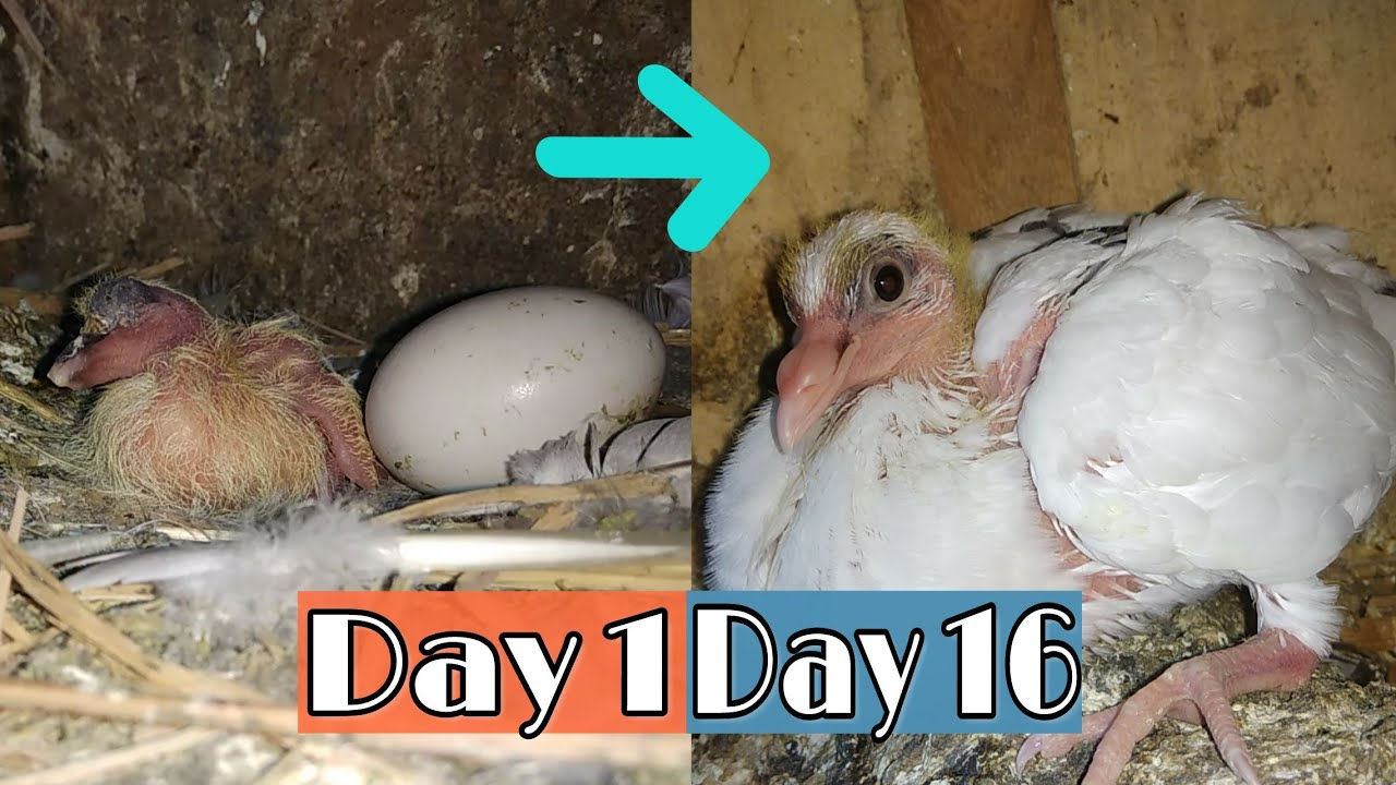 Day to Day Pigeon Growth Progress || Dubaaz Pigeon Baby ...